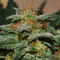 gog sweetberry cough auto