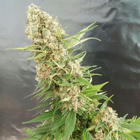 Critical Gorilla Expert Seeds Cannabis Seeds