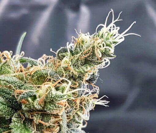 Glueberry Expert Seeds Cannabis Seeds