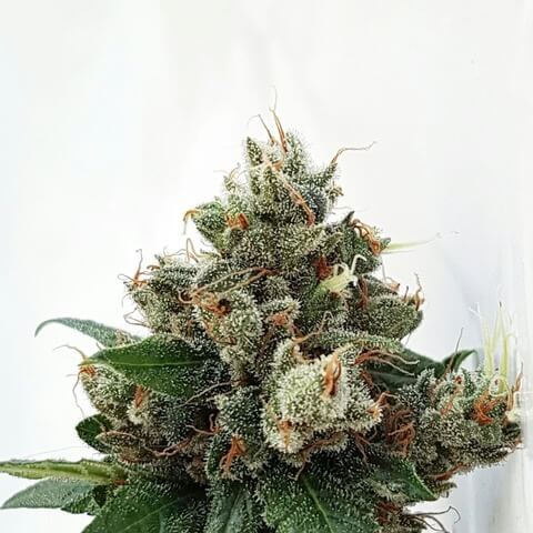 Respect 4 Gorilla Expert Seeds Cannabis Seeds