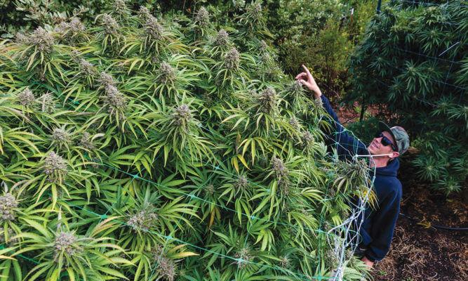 highest yielding cannabis strains 2020